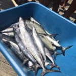 081518 Mackerel | Fishing Report